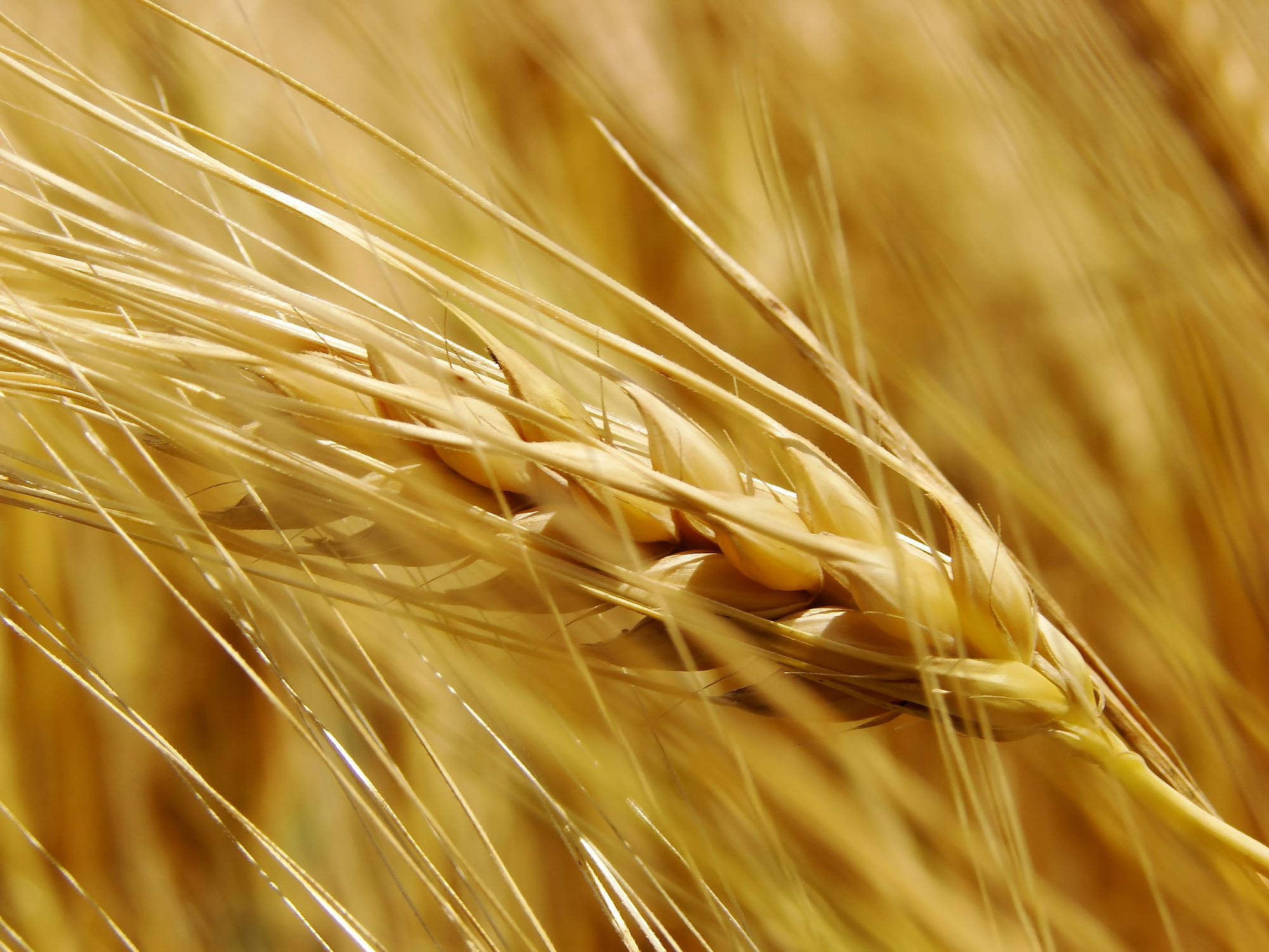 40 Year Cycle wheat and crops crises